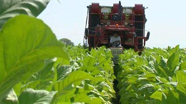 Tabaculture récolte