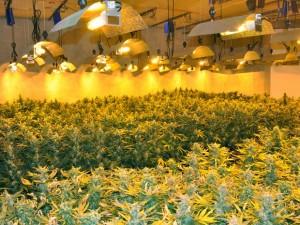 Champ cannabis
