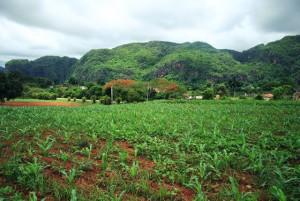 Cuba plantation