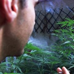 Cannabis : consultation citoyenne