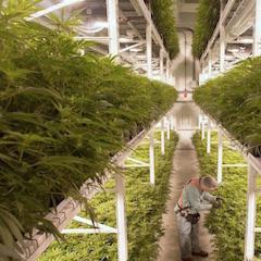 BAT investit dans le cannabis récréatif